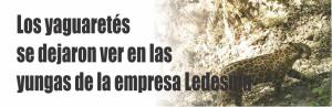 Notinor. Los yaguaretés se dejaron ver en las yungas de la empresa Ledesma