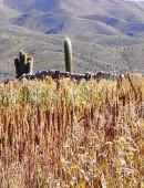 cultivos-de-quinua_18264