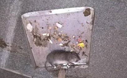 rata escuela alto comedero