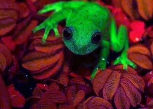 rana-fluorescente.jpg-1-1024x576